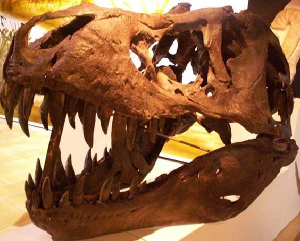 Tyrannosaurus rex - Dinosaure carnivore<br /> - 80 millions d&#039;ann&eacute;es - Etats-Unis