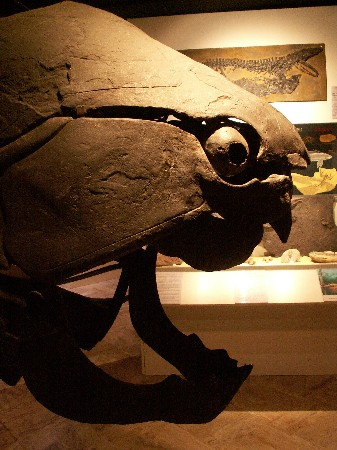 Dynkleosteus marsaisi<br /> poisson cuirass&eacute; - 400 millions d&#039;ann&eacute;es<br /> Maroc
