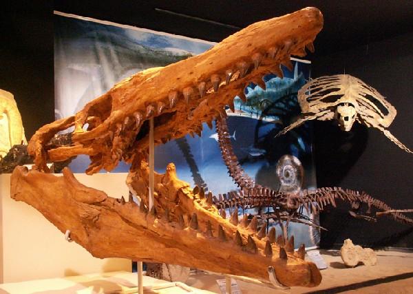Mosasaurus sp.<br /> Reptile marin - 80 millions d&#039;ann&eacute;es<br /> Maroc
